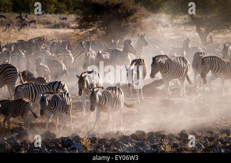 Herd or dazzle of Burchell's Zebras, Equus burchellii, coming to the Okaukuejo waterhole at dusk, Etosha National - Stock Image