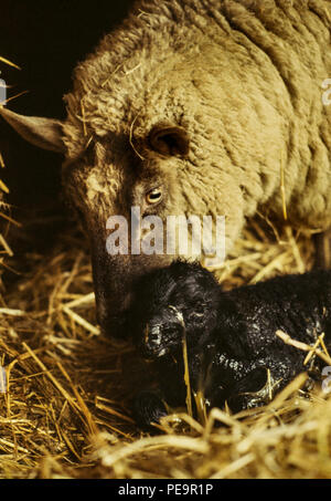 Farmer Mr Power and his son tend their aniomals during the hard winter of 1979-1980, Toot Hill Epping Essex England UK. 1979 - Stock Image