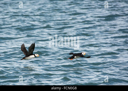 Two Horned Puffins, Fratercula corniculata, in flight near Duck Island, Cook Inlet, Lake Clark National Park, Alaska, - Stock Image