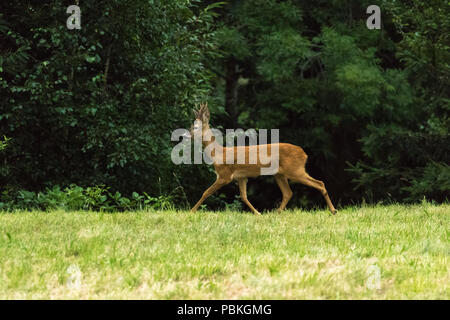 Deer in the woods fauna fawn wildlife - Stock Image