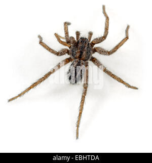A male (Thanatus striatus) spider on a white background. Part of the Family Philodromidae,  Running crab spiders. - Stock Image