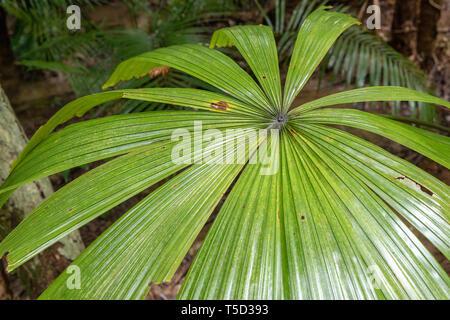 Palm fern in Daintree rainforest, Daintree National Park, Queensland, Australia - Stock Image