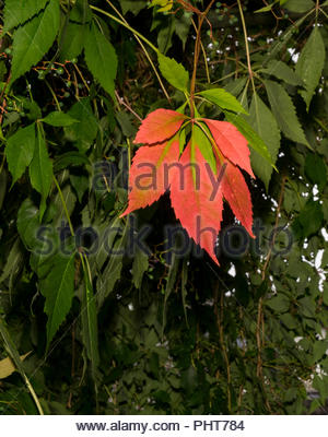Leaves of Virginia creeper — Parthenocissus quinquefolia — as the first one turns color in autumn - Stock Image