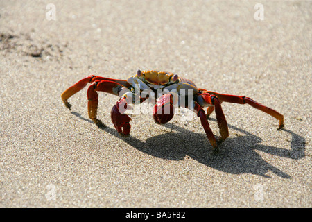 Sally Lightfoot Crab, Grapsus grapsus, Floreana Island, Galapagos Islands, Ecuador, South America - Stock Image
