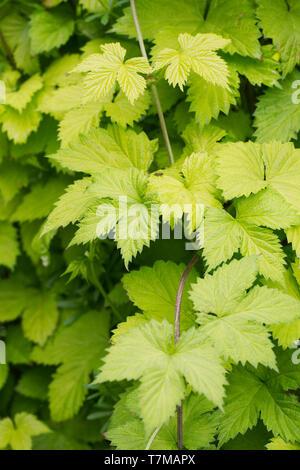 Humulus lupulus. Hop 'Golden Tassels' leaves. - Stock Image