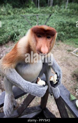 Proboscis monkey feeding at Labuk Bay in Sabah, Borneo - Stock Image