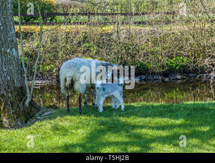 Ewe and Lambs near Staveley Lake District Cumbria - Stock Image