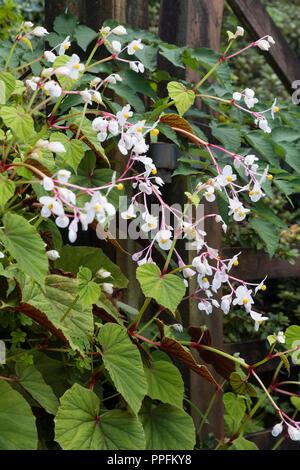 Ornamental foliage and white autumn flowers of the hardy perennial begonia, Begonia grandis ssp evansiana 'Alba' - Stock Image