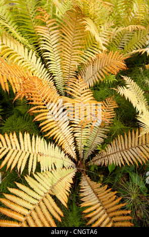 Fern leaves at Autumn - Stock Image