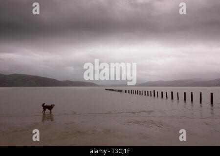Dog paddling in sea water. - Stock Image
