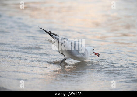 Audouin's Gull, Larus audouinii, catching fish in the shallows, Es Canar, Ibiza, Balearic Islands, Mediterranean Sea - Stock Image