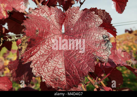 Vineyard leaf - Stock Image