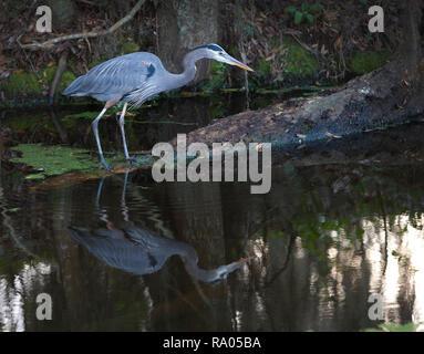 A great blue heron (Ardea herodias) stalking prey in a Florida wetland. - Stock Image
