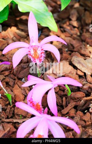 Pleione pleionoides, Orchidaceae, Pleione Orchids, pleione orchid, pleione orchid flowers, pleione orchid plant, pleione orchid flower, Pleione Orchid - Stock Image