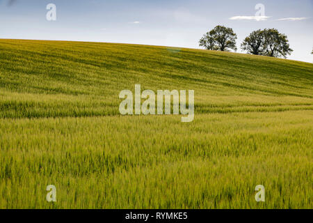 Spring shoots in a field in County Down Northern Ireland - Stock Image