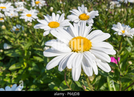 Leucanthemum x superbum or Shasta daisies, large daisy-like flower heads with white petals growing in Summer in the UK. Shasta daisy in Summer. - Stock Image