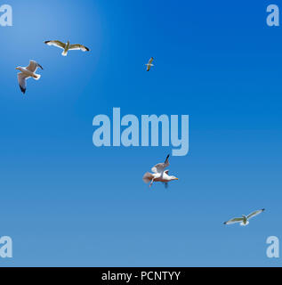 Seagulls flying high against a blue sky and backlit by the sun - Stock Image