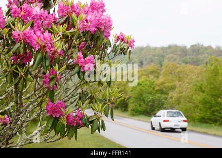 Rhododendron along Blue Ridge Parkway, North Carolina, near Asheville. - Stock Image