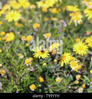 Cute small yellow flowers in a meadow in Funchal, Madeira. There is plenty of little flowers and one bumble bee. Photographed during a sunny day. - Stock Image