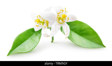 Isolated orange blossoms. Small branch of orange tree with flowers and leaves isolated on white background with clipping path - Stock Image