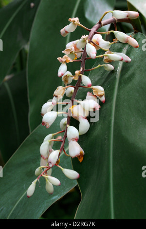 Lesser Galangal, Chinese-Ginger, Thai Ginger, Galangal, Alpinia officinarum, Zingiberaceae. China, South East Asia. - Stock Image