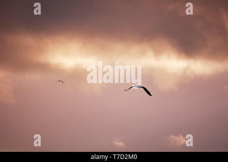 Seagulls flying and hovering against a moody dramatic cloudy sky background - Stock Image