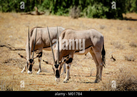 Two East African Oryx, Oryx beisa, grazing together in the Buffalo Springs National Reserve, Isiolo County, Kenya, - Stock Image