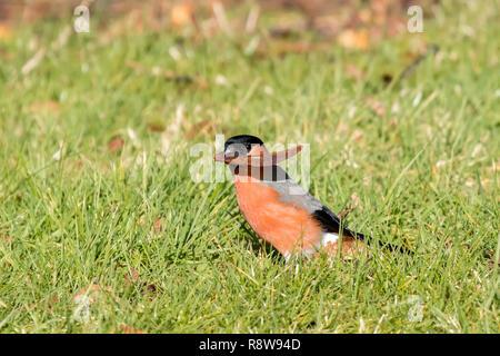 Male Bullfinch (Pyrrhula pyrrhula) in field with autumn coloured leaf in its beak. Tipperary, Ireland - Stock Image