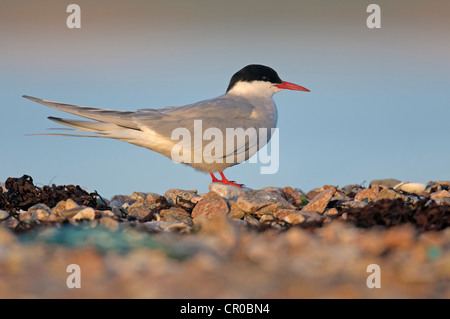 Arctic tern (Sterna paradisaea) adult at rest on shingle beach in evening light. Shetland Isles. June. - Stock Image