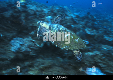 green turtle swimming across reef in the Indian Ocean at Mozambique - Stock Image