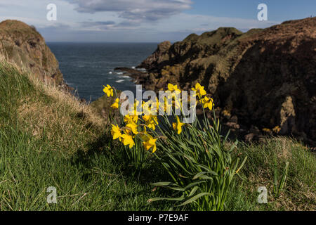 Daffodils in bloom at the Bullers of Buchannear Cruden Bay, Aberdeenshire, Scotland, UK - Stock Image