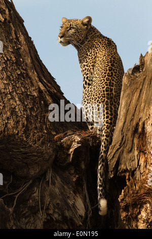 African Leopard sitting in tree, Samburu Game Reserve, Kenya, Africa (Panthera pardus) - Stock Image