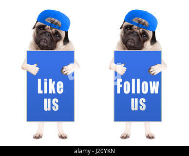 pug puppy dog with blue follow us and like us sign and wearing blue cap, isolated on white background - Stock Image