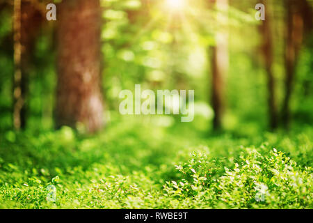 pine and fir forest panorama - Stock Image