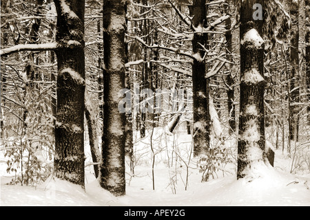 White pine trees after a winter snow storm Jericho Vermont USA. - Stock Image