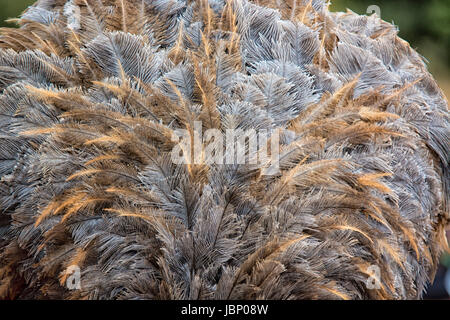 Close up of the plumage of a young wild Ostrich, Struthio camelus, Kenya, East Africa - Stock Image