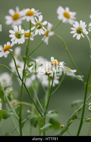 leggy feverfew, charming daisy-like tansy, medicinal herb Jane Ann Butler Photography JABP1889 - Stock Image