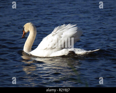 Mute swan - Cygnus Olor gliding along gracefully on the water - Stock Image
