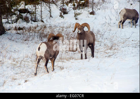 Big Horn Sheep Winter - Stock Image