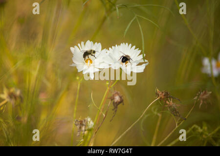 Bees on White Cosmos Flowers - Stock Image