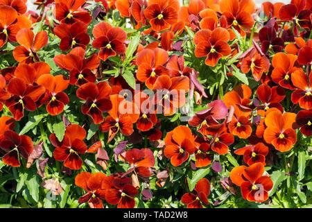 Violas Red Blotch - Stock Image