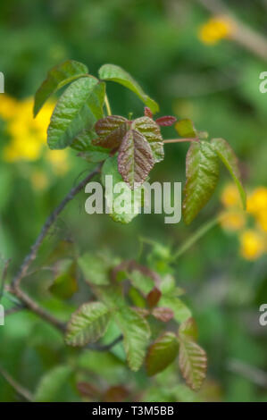 Poison ivy near Lompoc, central California coast. Digital photograph - Stock Image