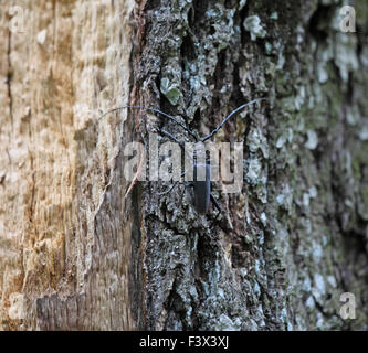 Long horn beetle Cerambys cerdo at rest on dead oak trunk Hungary - Stock Image