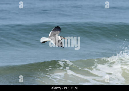 A laughing gull flying over the surf along the panhandle of Florida, USA. - Stock Image