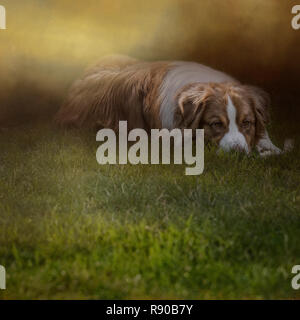 Composite of an australian shepherd dog lying comfortably in the green grass as the sun sets behind him - Stock Image