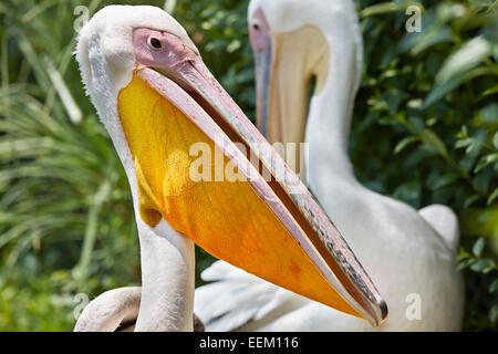 Great white pelican. Scientific name: Pelecanus onocrotalus. - Stock Image