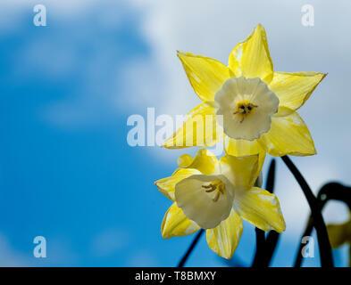 Fresh spring daffodil flowers - Stock Image