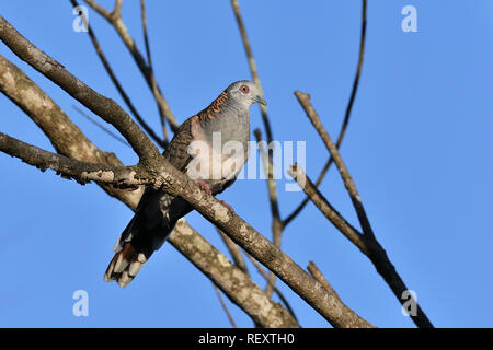 An Australian, Queensland Bar-shouldered Dove ( Geopelia humeralis ) perched on a branch looking to Camera - Stock Image