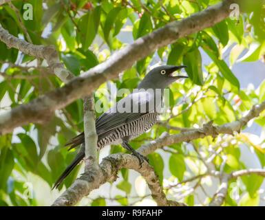 Barred Cuckooshrike (Coracina lineata) with an open beak, perching on a fig tree, Lake Tinaroo, Atherton Tableland,  Far North Queensland, FNQ, QLD, A - Stock Image