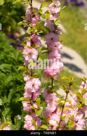 little tree of prunus triloba louiseania early spring branches, almond with soft pink flowers lit by the midday sun - Stock Image